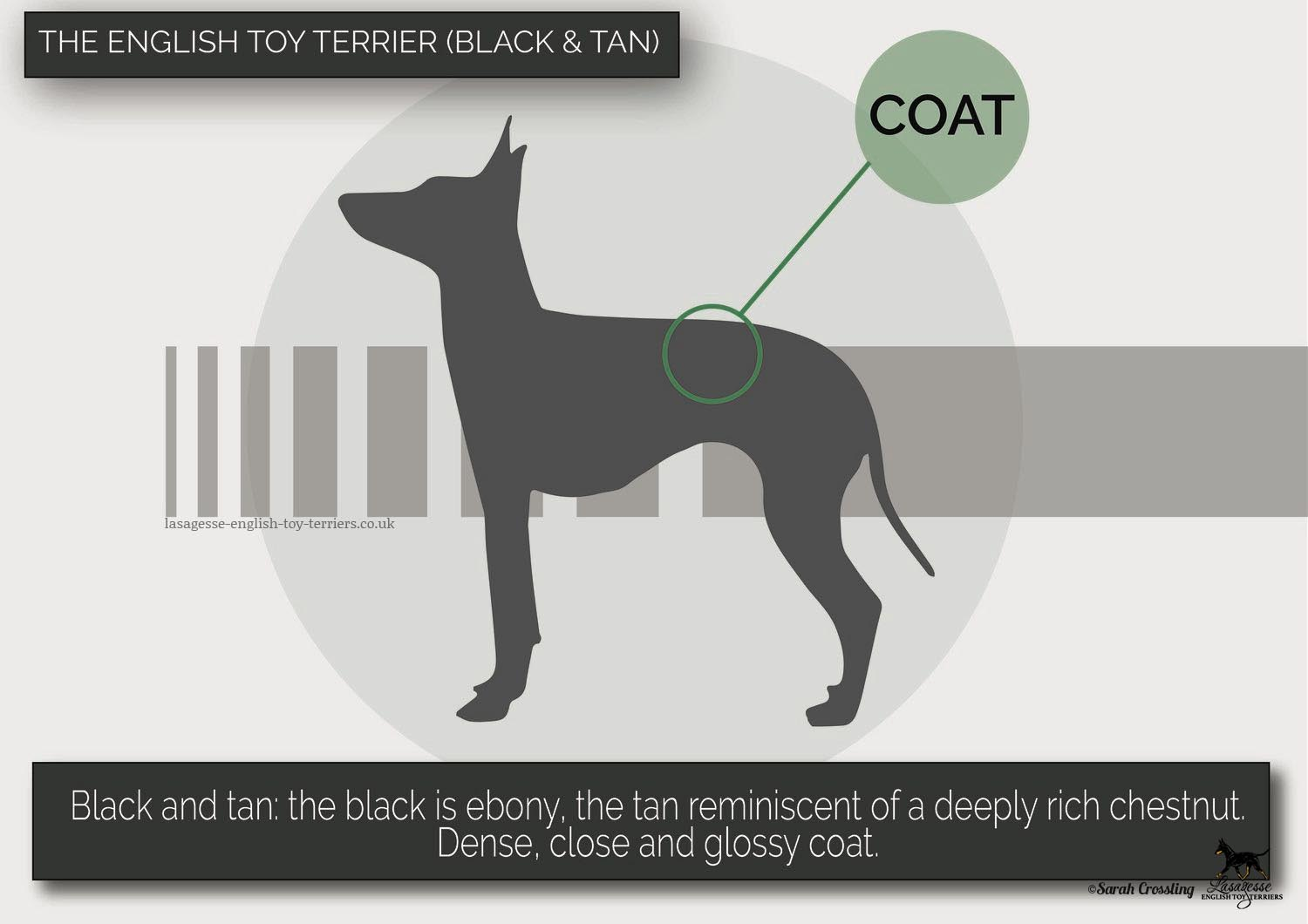 english-toy-terrier-breed-standard-018 copy