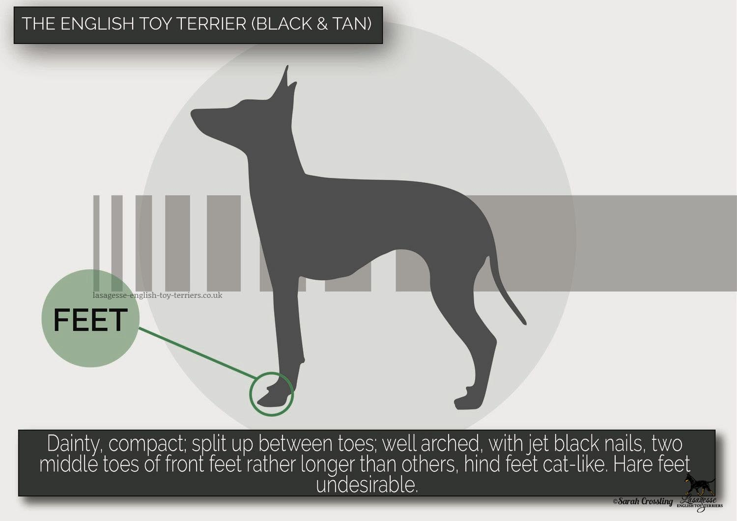 english-toy-terrier-breed-standard-021 copy