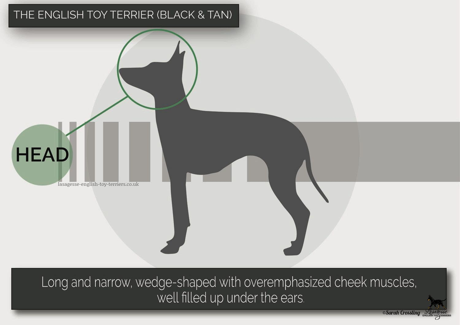 english-toy-terrier-breed-standard-023 copy