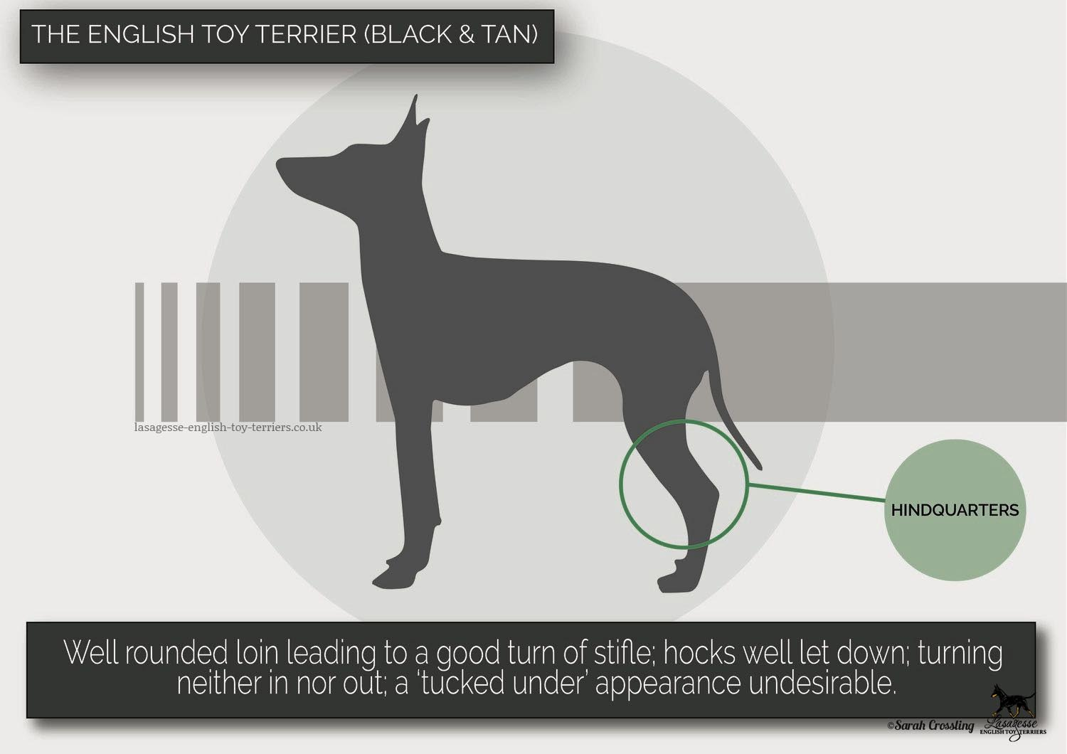 english-toy-terrier-breed-standard-024 copy