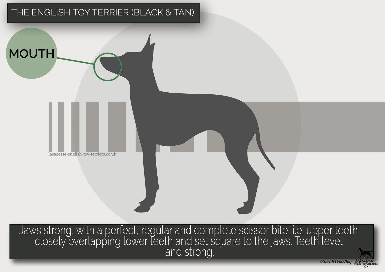 english-toy-terrier-breed-standard-025 copy