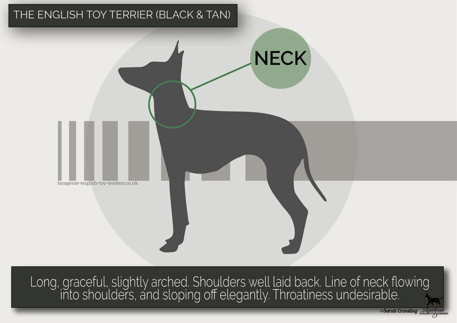 english-toy-terrier-breed-standard-026 copy