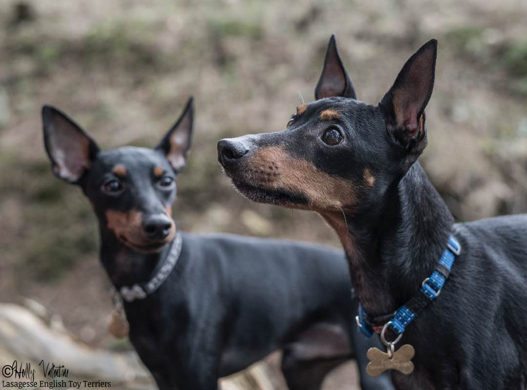 english-toy-terrier-lasagesse-bentley-001 copy
