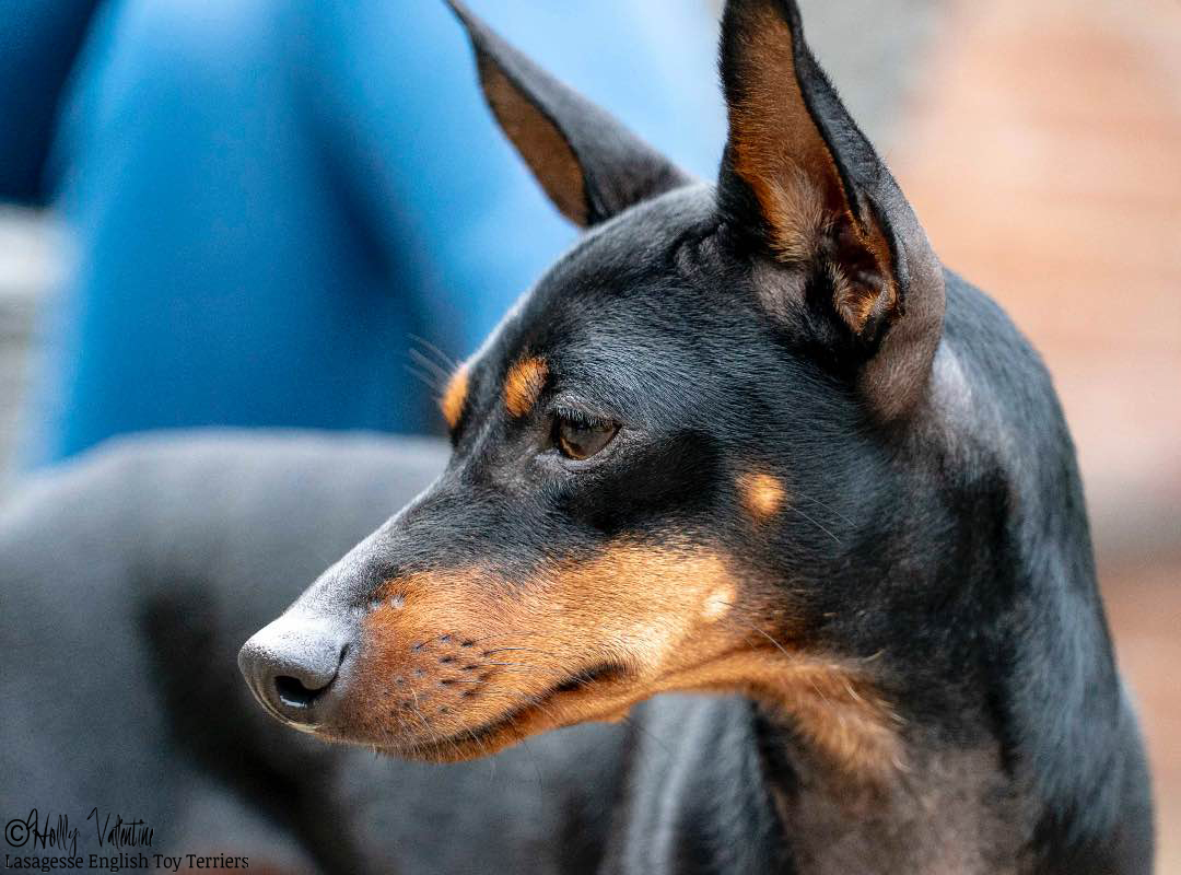 english-toy-terrier-lasagesse-esme-010 copy
