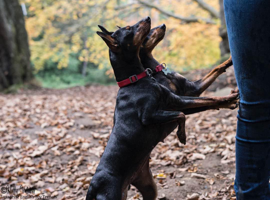 english-toy-terrier-lasagesse-esme-015 copy