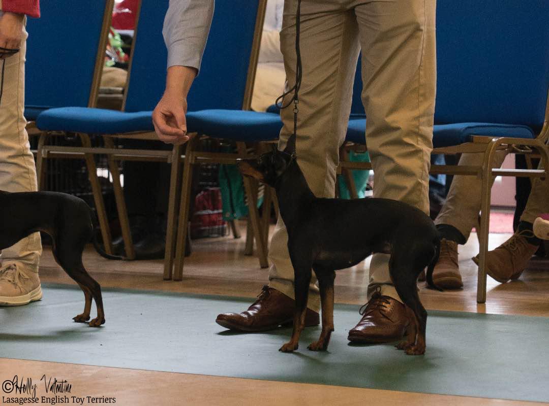 english-toy-terrier-lasagesse-esme-show-002 copy