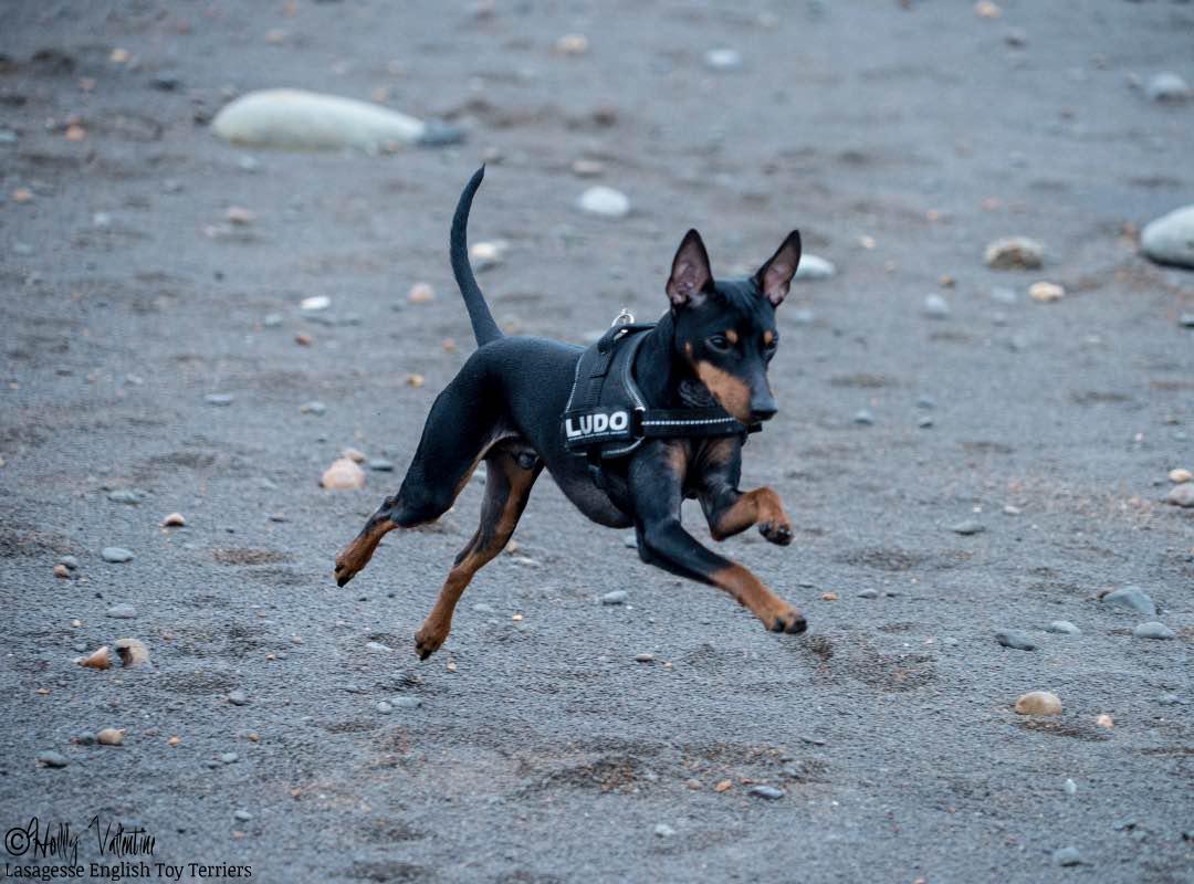 english-toy-terrier-lasagesse-ludo-008 copy