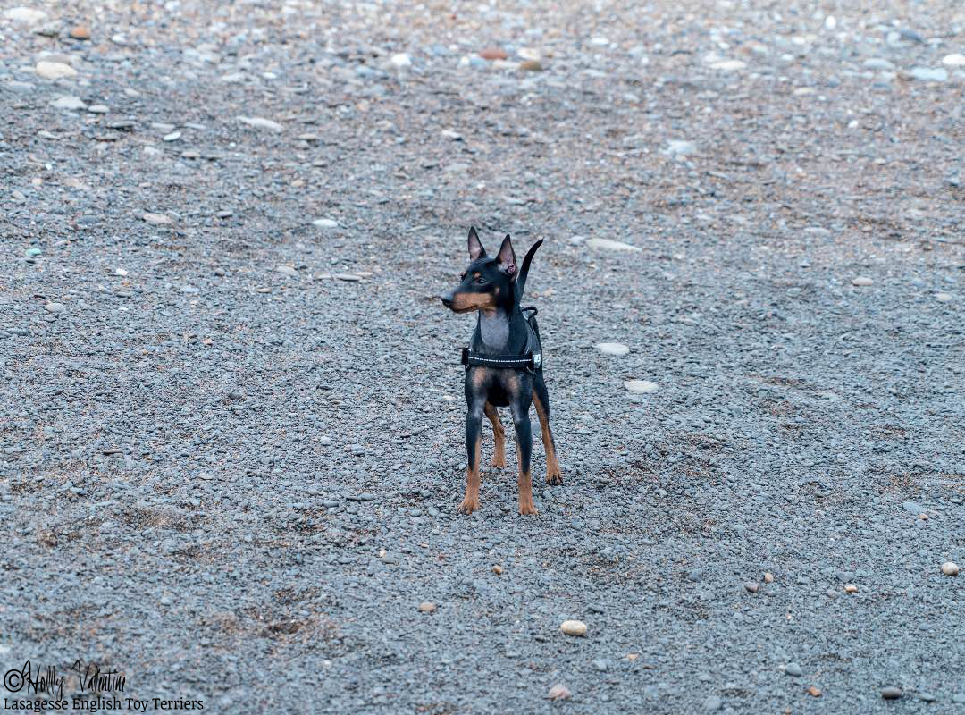 english-toy-terrier-lasagesse-ludo-009 copy