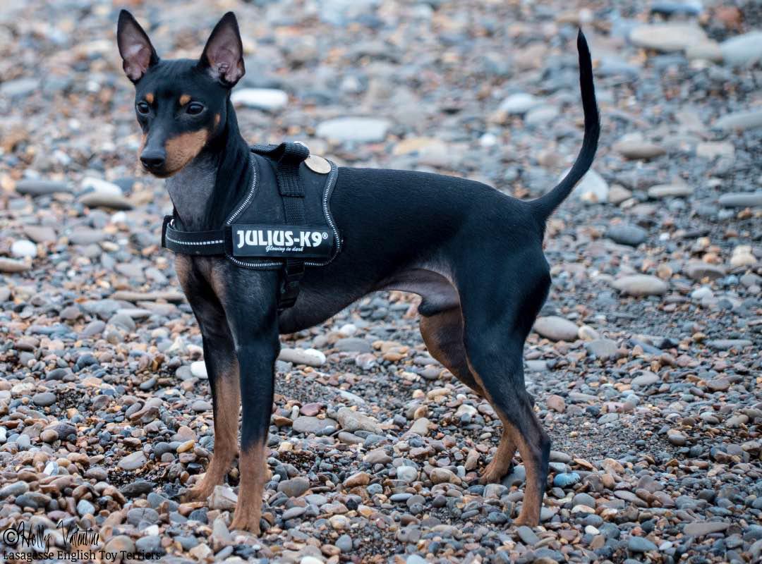 english-toy-terrier-lasagesse-ludo-010 copy