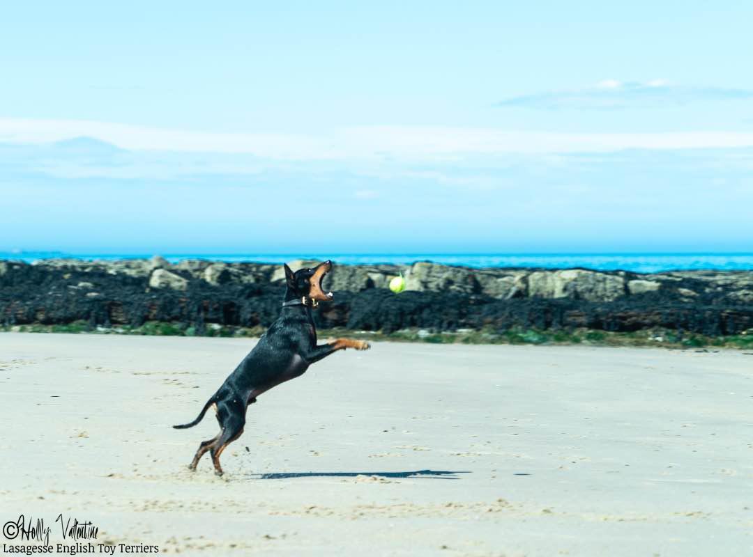english-toy-terrier-lasagesse-ludo-012 copy