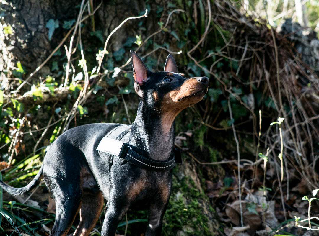 english-toy-terrier-lasagesse-ludo-014 copy