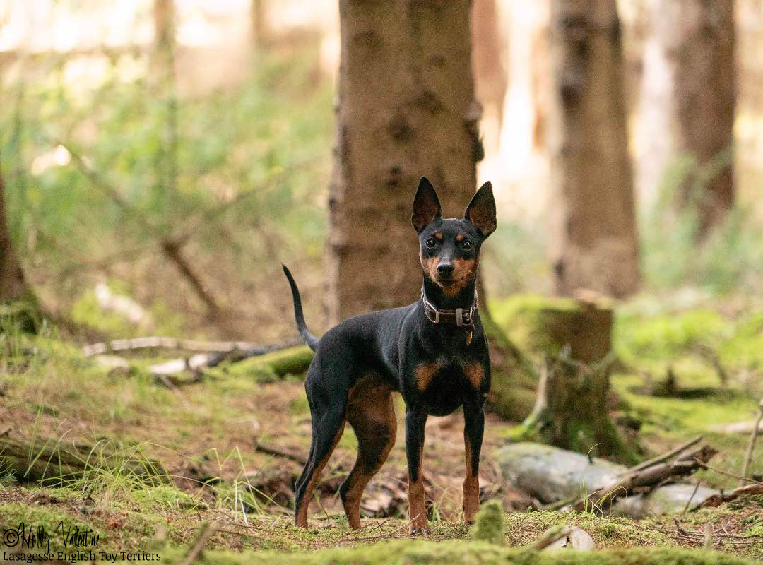 english-toy-terrier-lasagesse-ludo-015 copy