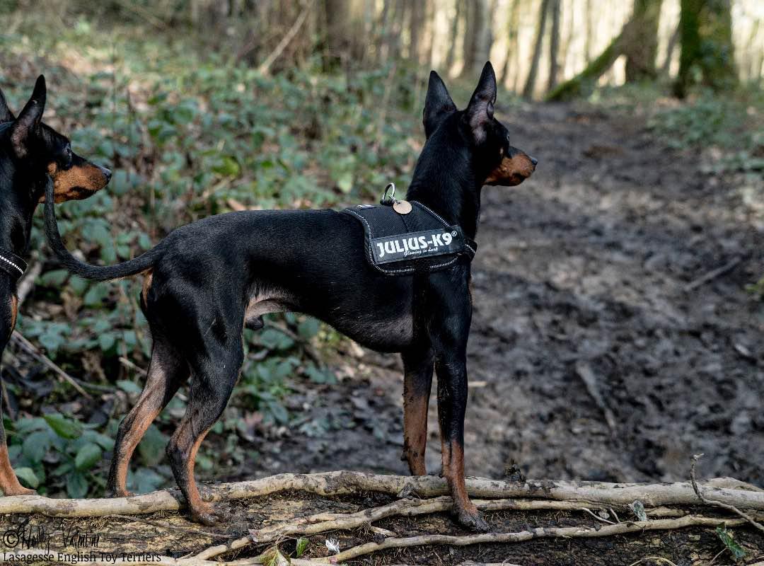 english-toy-terrier-lasagesse-ludo-016 copy