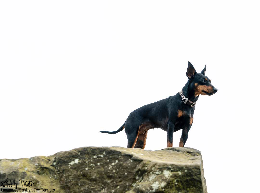 english-toy-terrier-lasagesse-ludo-026 copy