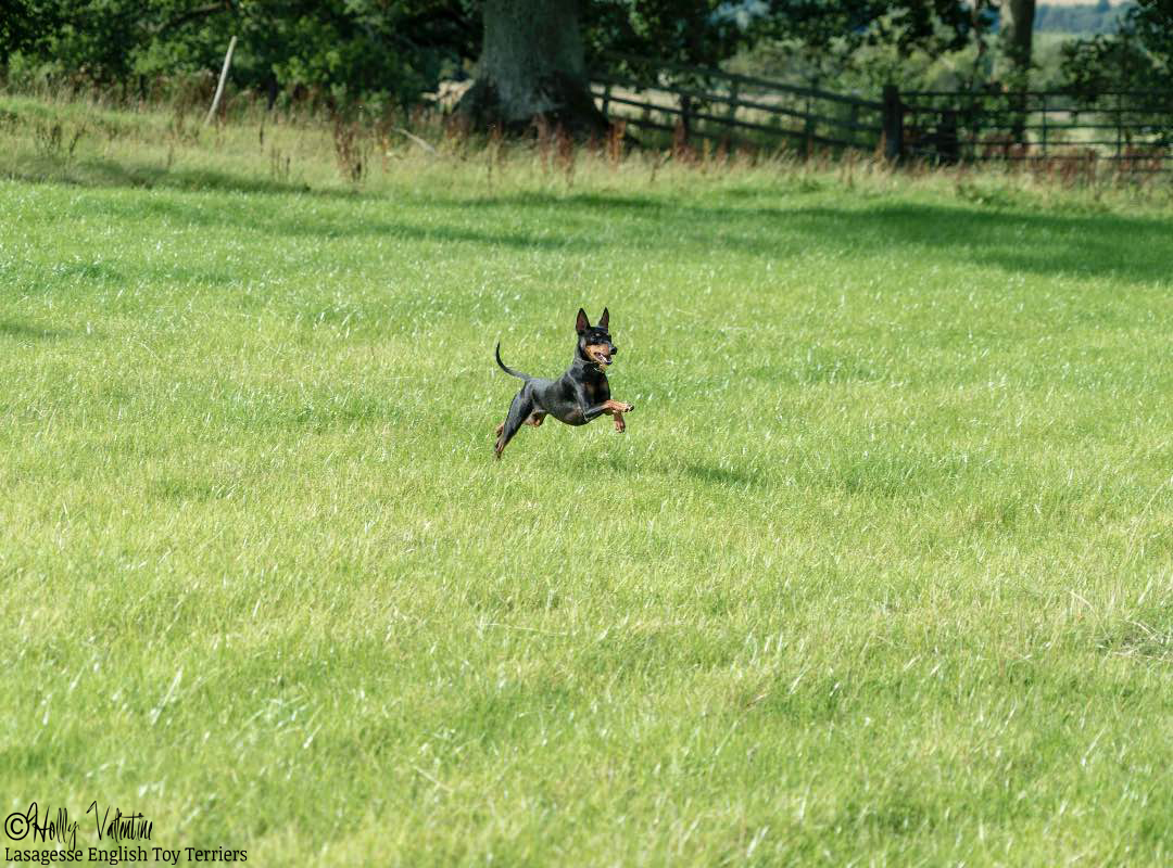 english-toy-terrier-lasagesse-ludo-035 copy