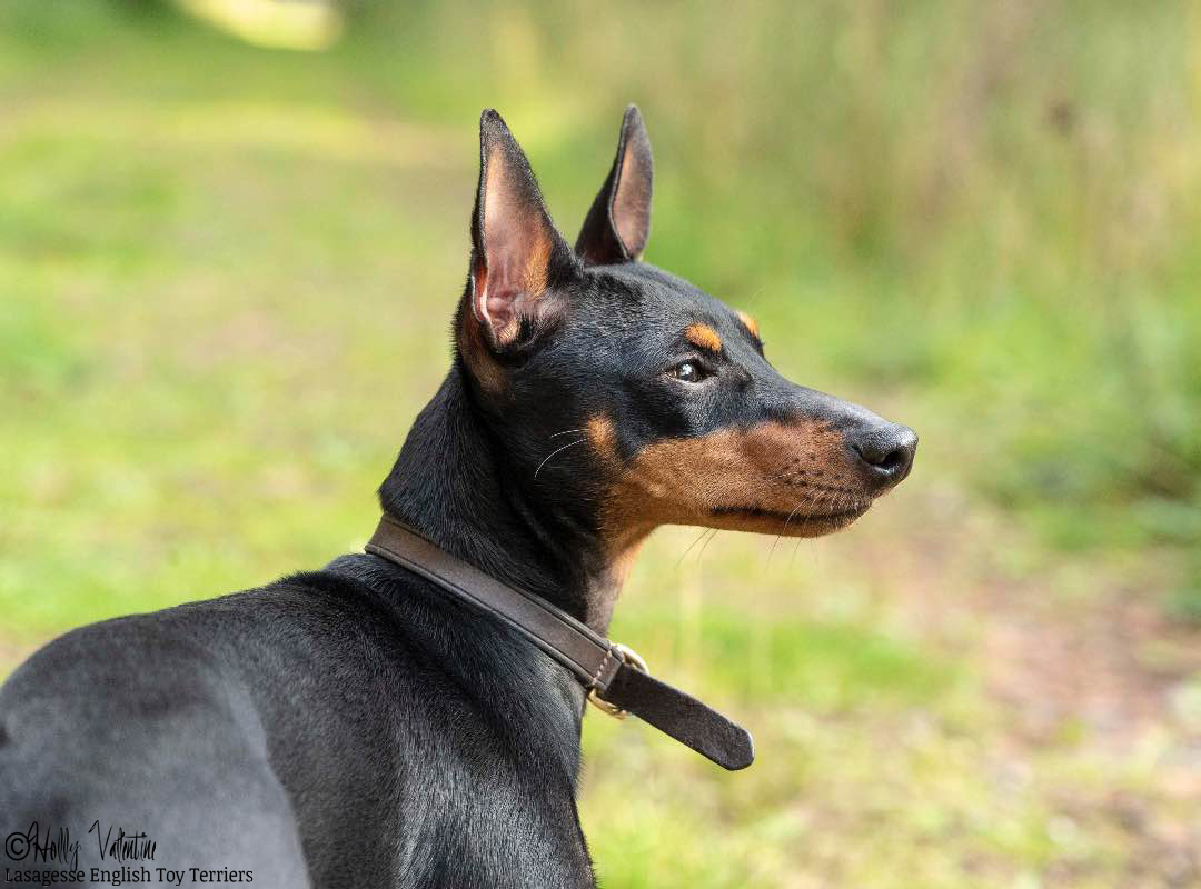 english-toy-terrier-lasagesse-ludo-038 copy
