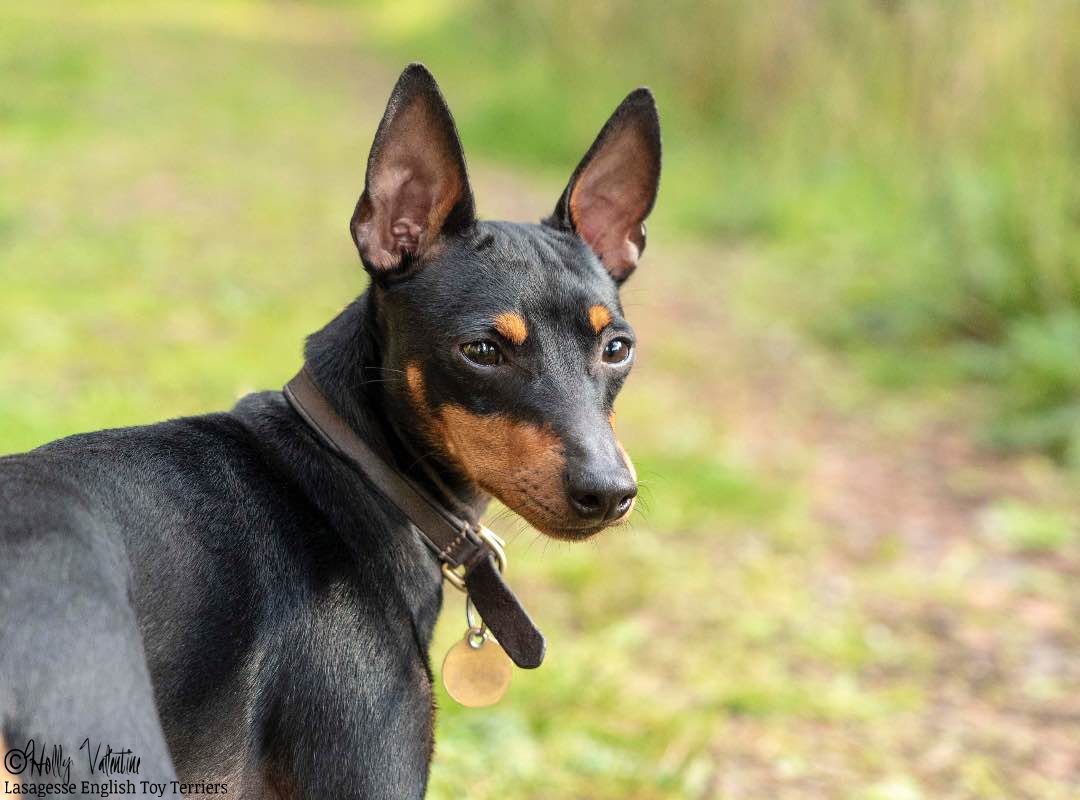 english-toy-terrier-lasagesse-ludo-039 copy