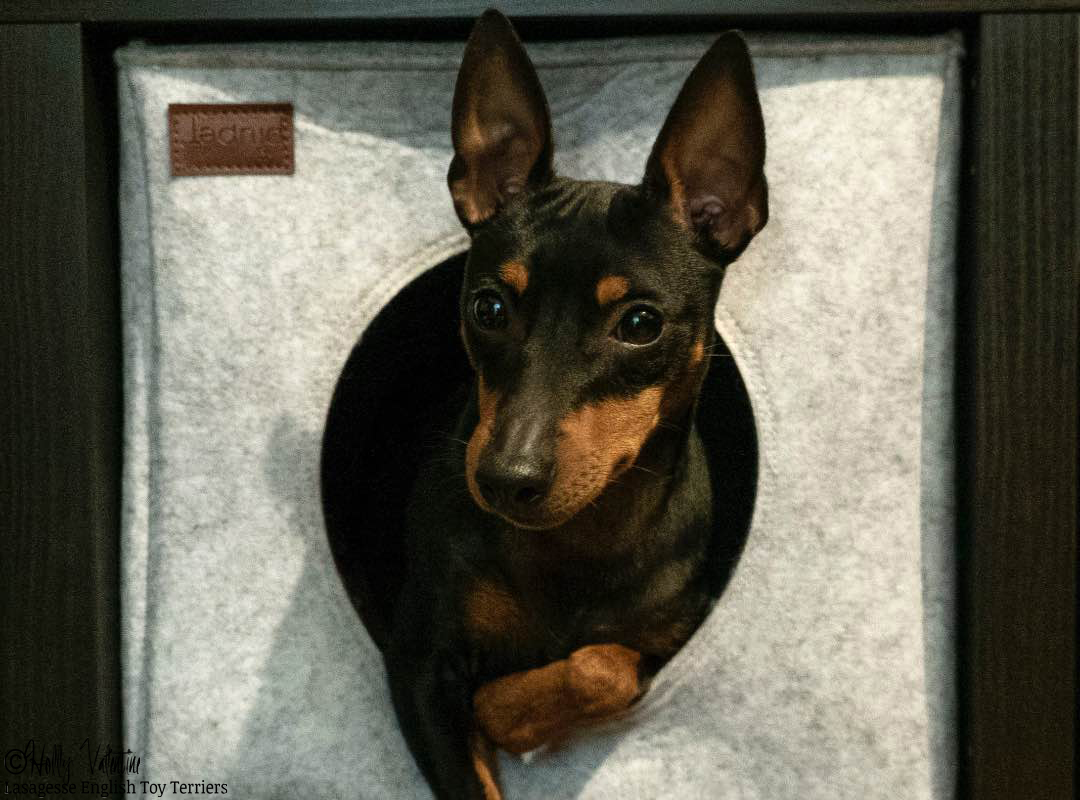 english-toy-terrier-lasagesse-ludo-041 copy
