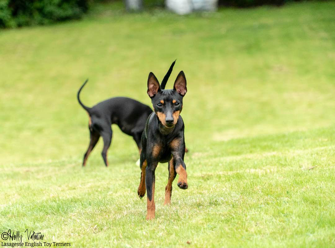 english-toy-terrier-lasagesse-ludo-042 copy