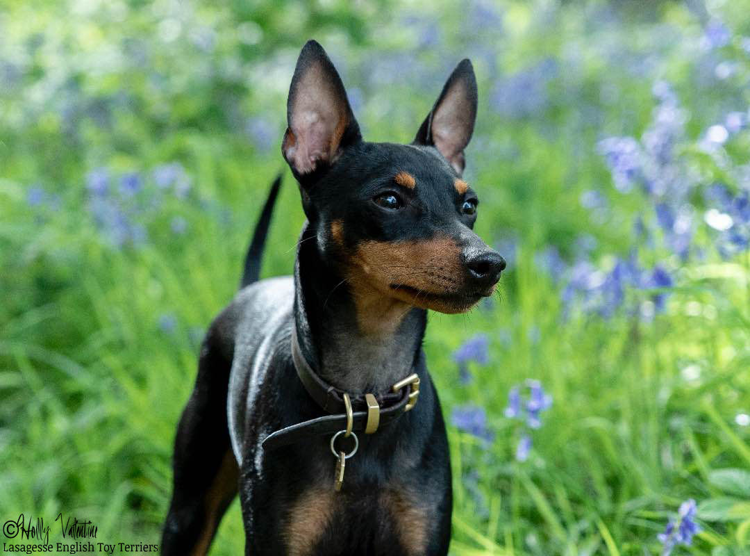 english-toy-terrier-lasagesse-ludo-049 copy
