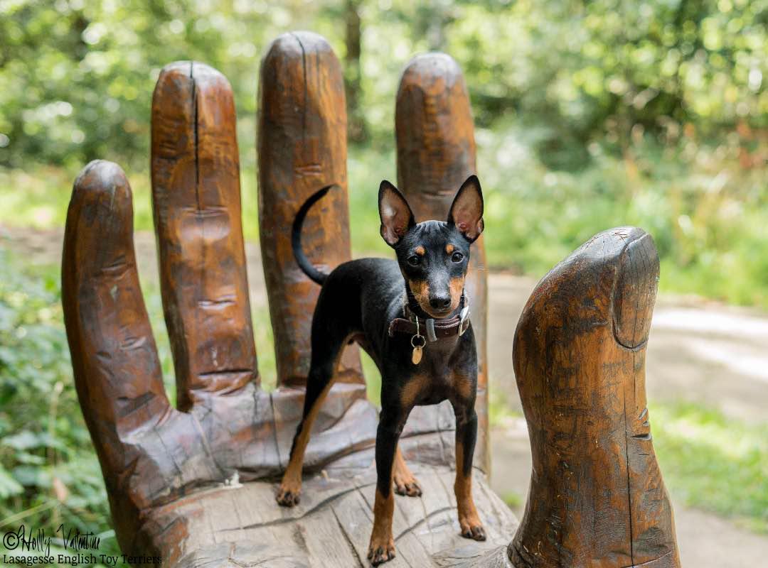 english-toy-terrier-lasagesse-ludo-054 copy