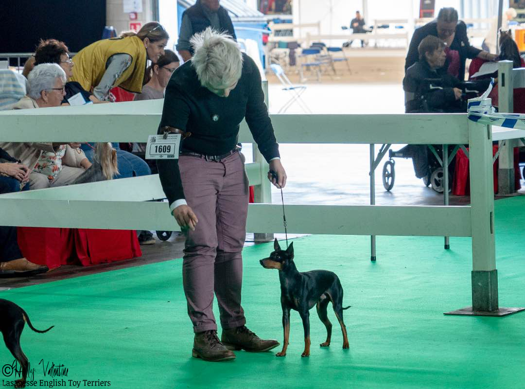 english-toy-terrier-lasagesse-ludo-show-001 copy
