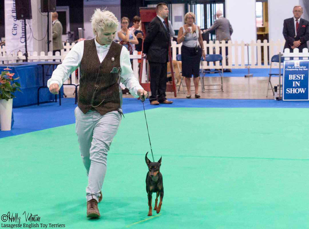 english-toy-terrier-lasagesse-ludo-show-002 copy
