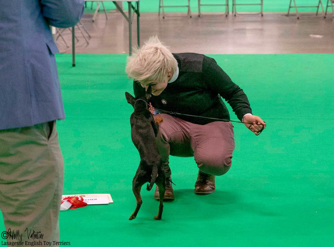 english-toy-terrier-lasagesse-ludo-show-005 copy