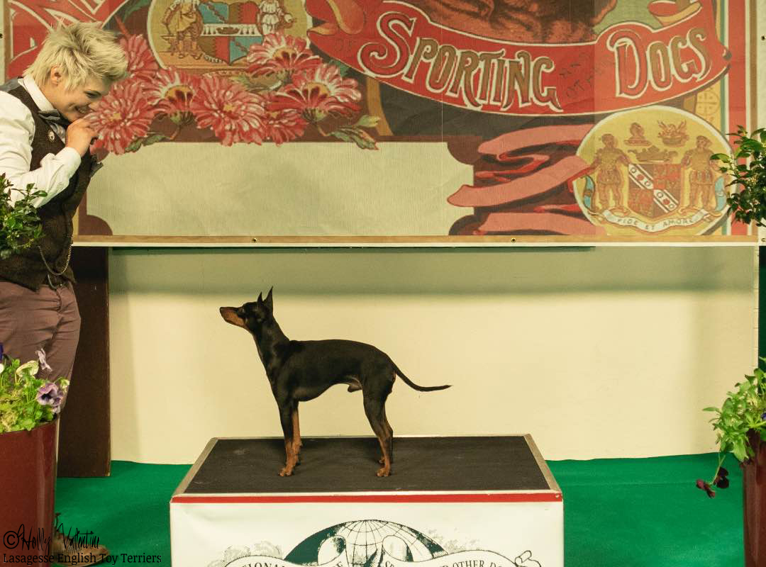 english-toy-terrier-lasagesse-ludo-show-006 copy