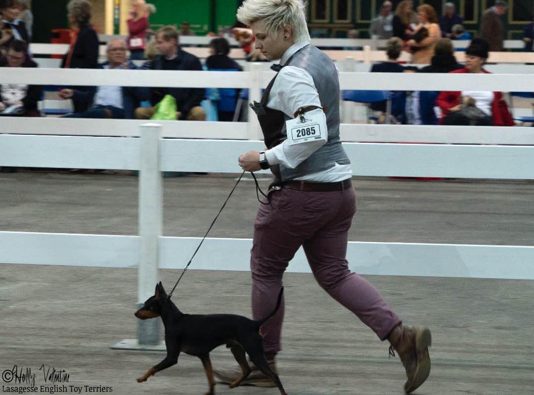 english-toy-terrier-lasagesse-ludo-show-007 copy