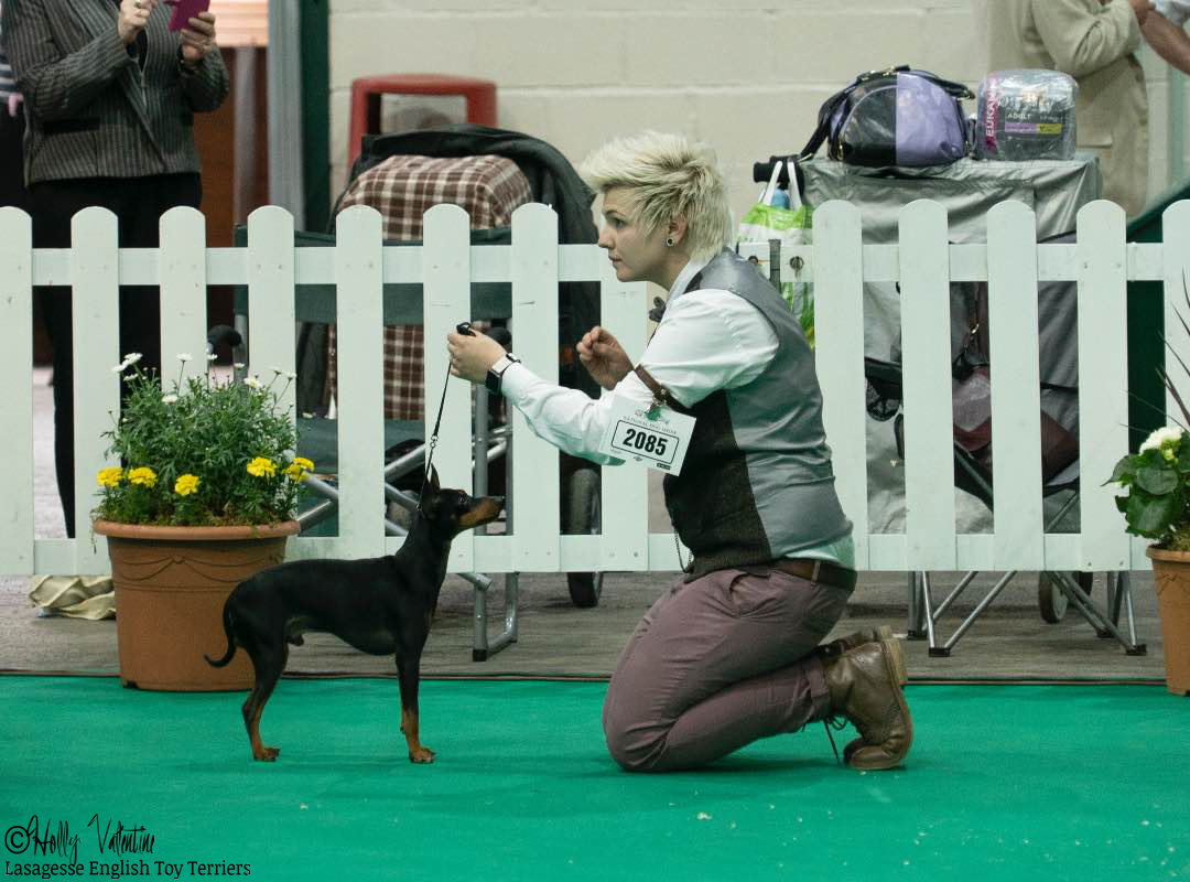 english-toy-terrier-lasagesse-ludo-show-010 copy