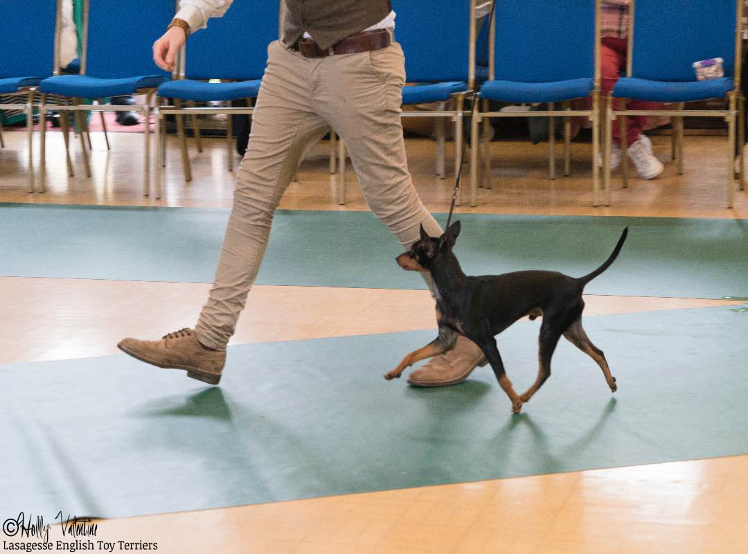 english-toy-terrier-lasagesse-ludo-show-023 copy