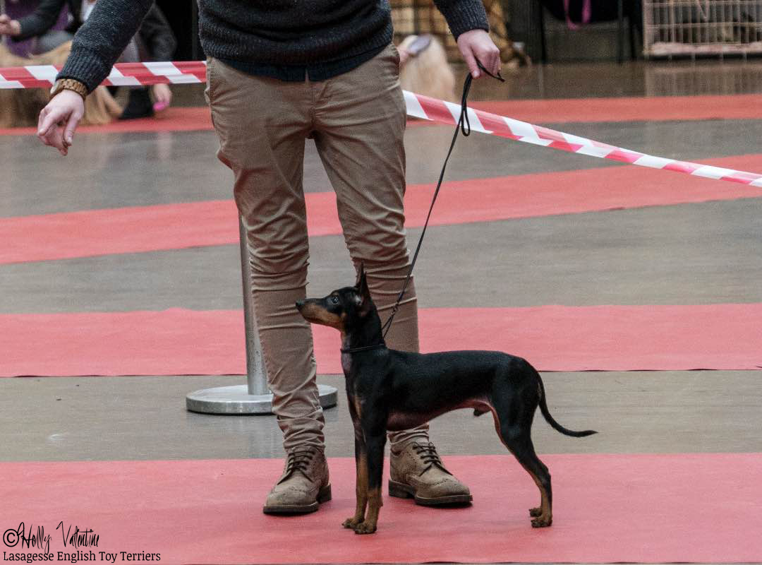 english-toy-terrier-lasagesse-ludo-show-026 copy