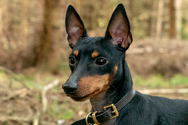 profile-english-toy-terrier-lasagesse-ludo