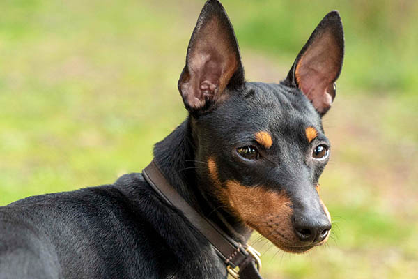 profile-english-toy-terrier-lasagesse-ludo2