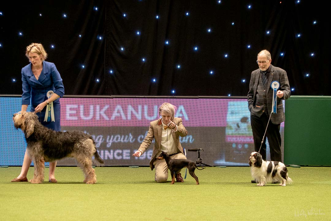lasagesse-crufts-english-toy-terrier-2019-49
